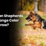 Do German Shepherds Coats Change Color As They Grow?