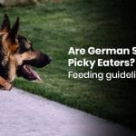 Are German Shepherds Picky Eaters? Feeding Guidelines