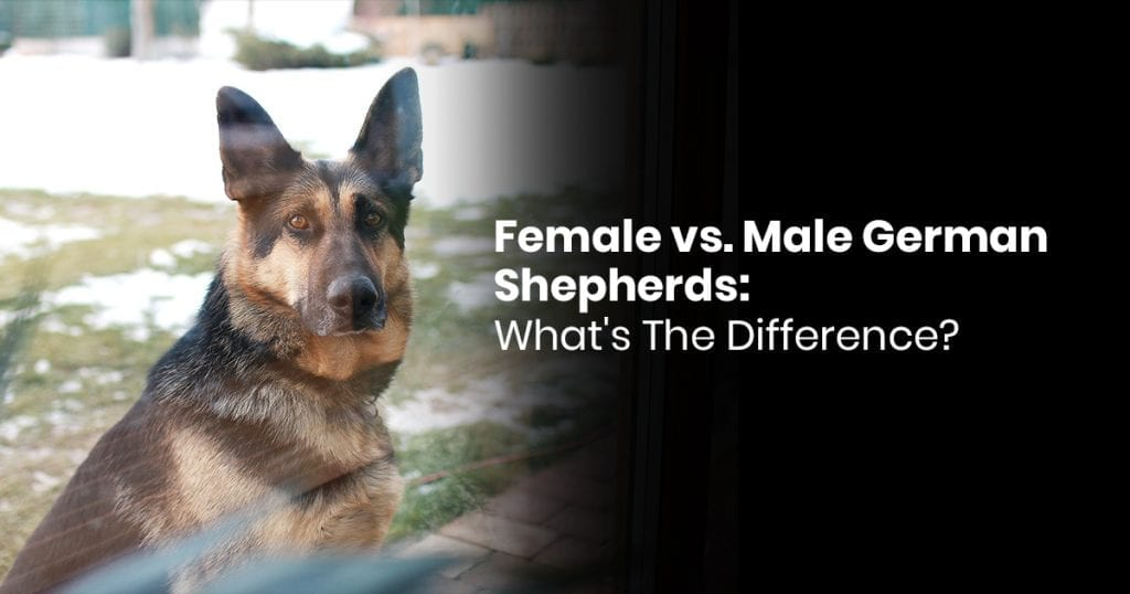 Female Vs. Male German Shepherds: What's The Difference?