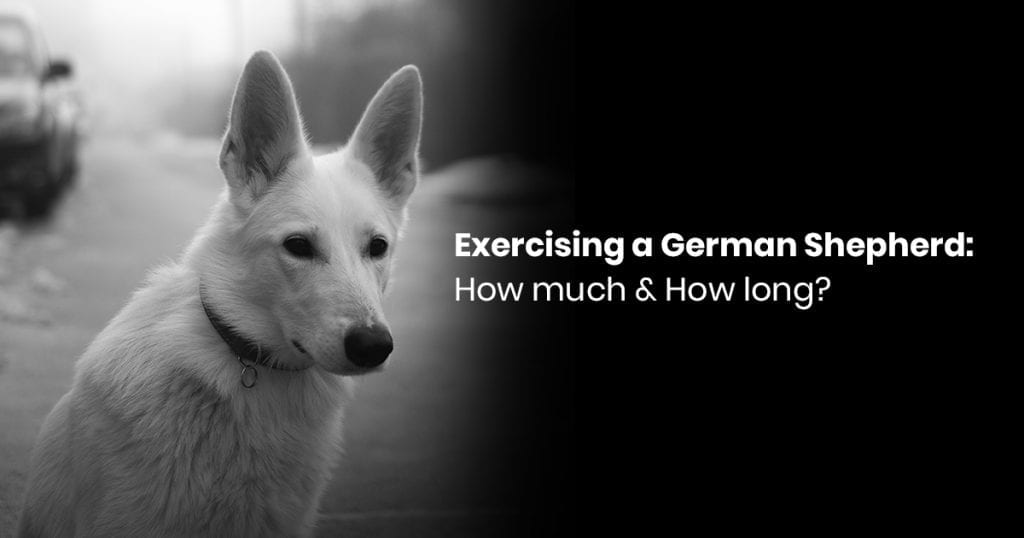 Exercising A German Shepherd: How Much & How Long?