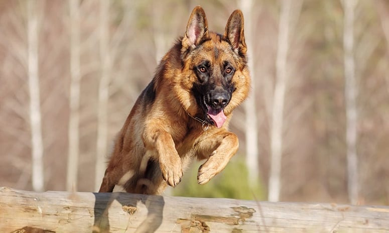 German Shepherd Jumping