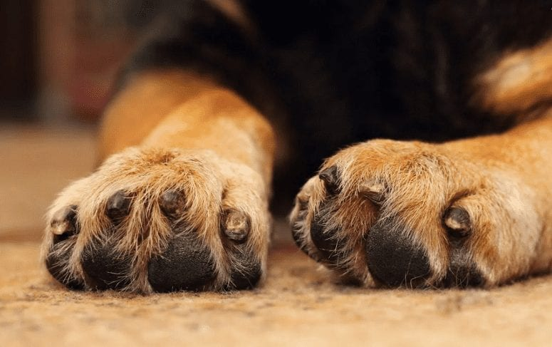 German Shepherd Paws