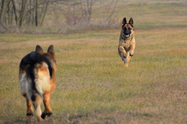 Two German Shepherds Running
