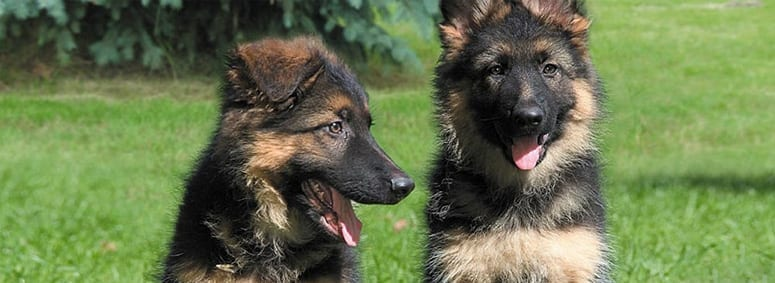 German Shephards Colors in the long run