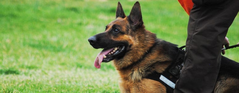 German shepards excelent police dogs