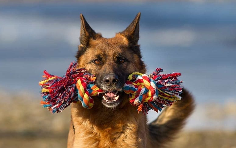 German Shepherd Holding Toy In Mouth