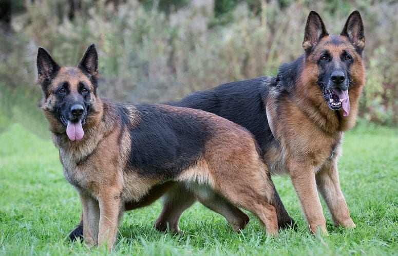 Atina And Beni German Shepherds
