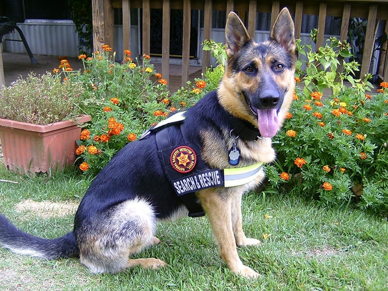 German Shepherd Dogs As Search And Rescue