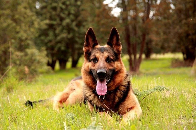 German Shepherd Laying On Grass