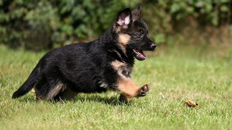 Black German Shepherd Puppies