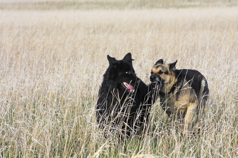A GSD and a black GSD running together