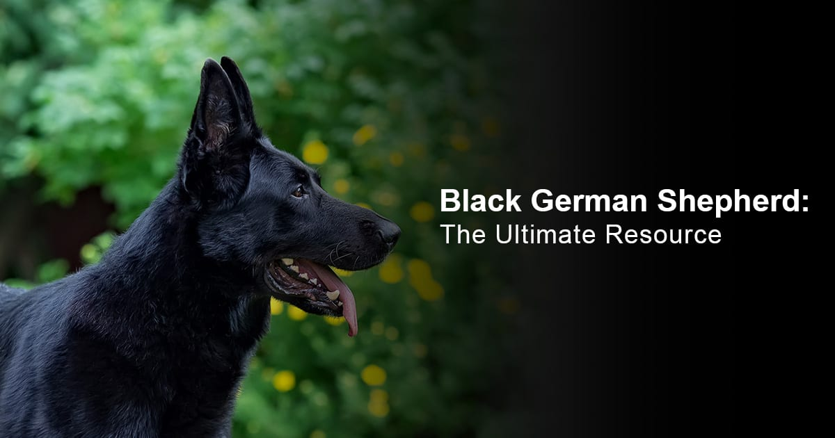 Black German Shepherd - The ultimate Resource
