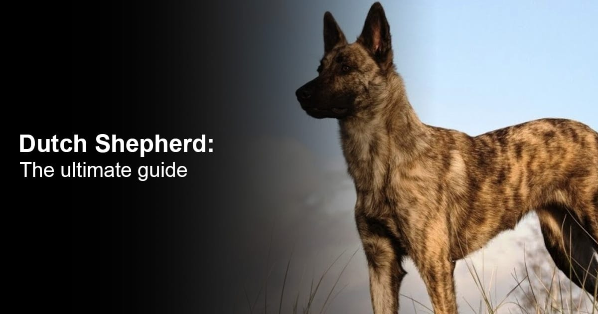 Dutch Shepherd - The ultimate Guide