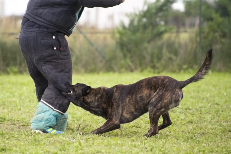 Trainingsübung auf Dutch Shepherd